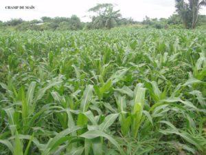 Maisfeld in Kamerun