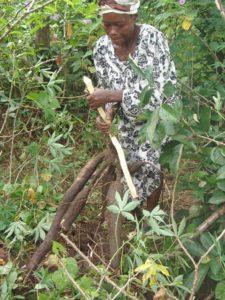 Maniokwurzeln werden geerntet