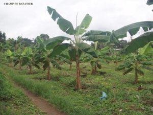 Bananenstauden